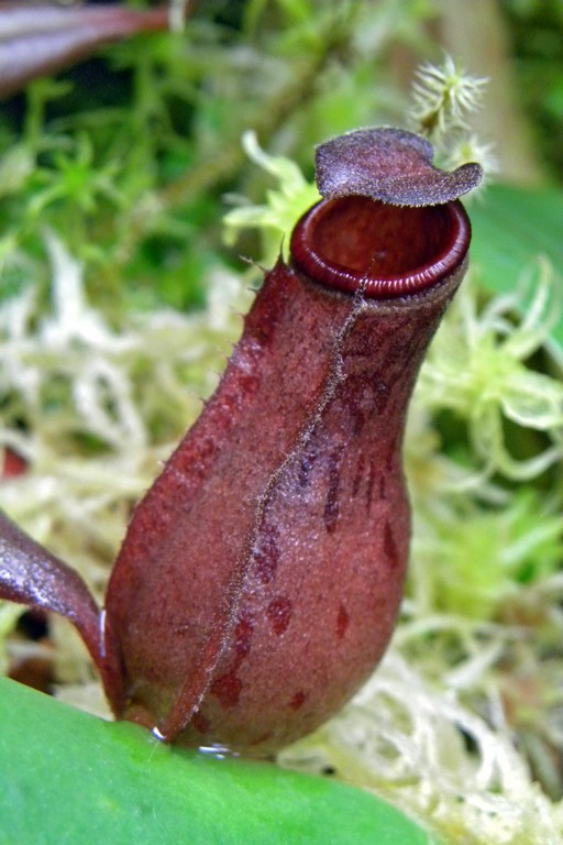 Nepenthes_albomarginata_Red_2015_04_09_0