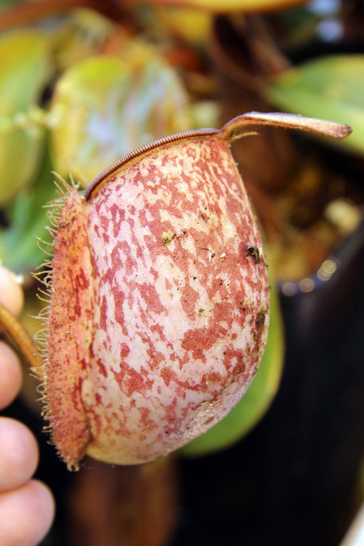 Nepenthes_ampullaria_01_04_2015_127.jpg
