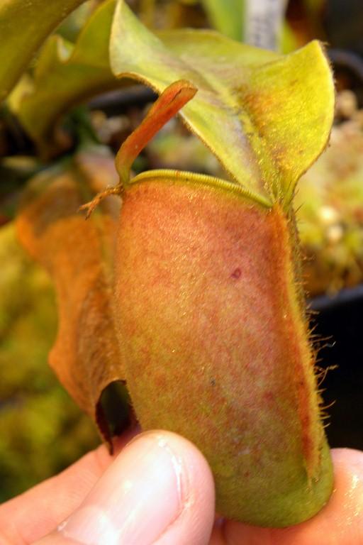 Nepenthes_ampullaria_04_03_2015_030.jpg