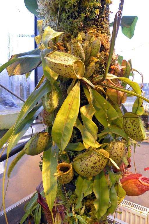 Nepenthes_ampullaria_15_01_2015_016.jpg