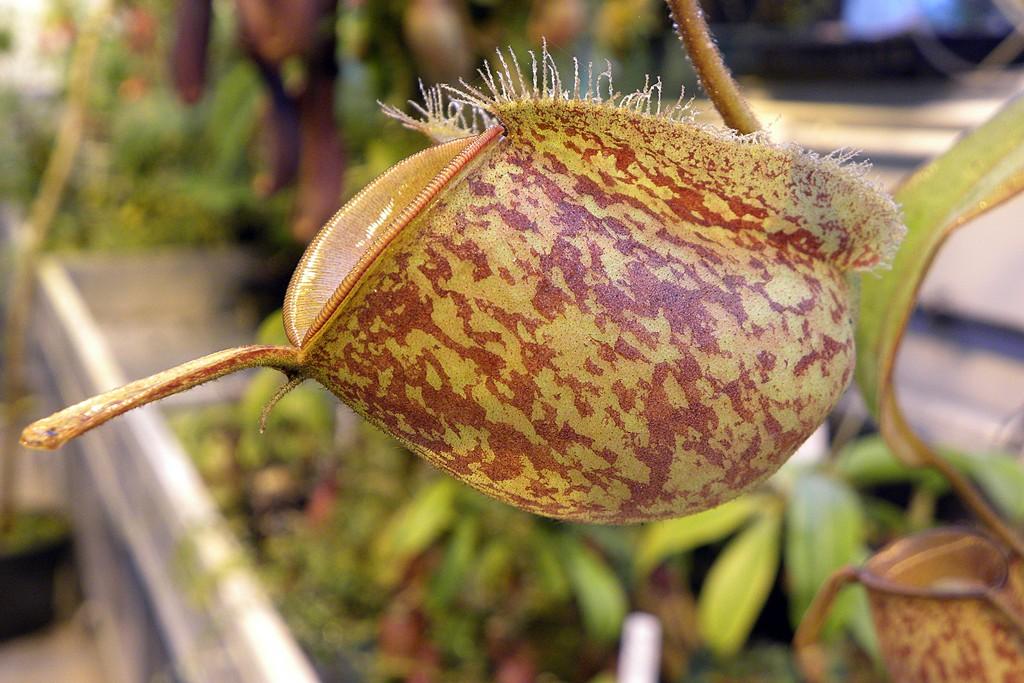 Nepenthes_ampullaria_Bronze_Nabire_12_09