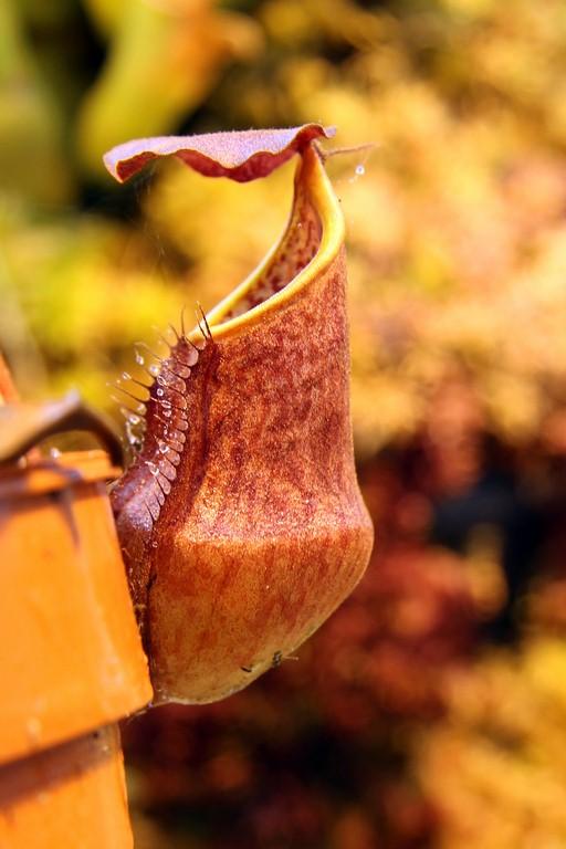 Nepenthes_bokorensis_01_04_2015_125.jpg