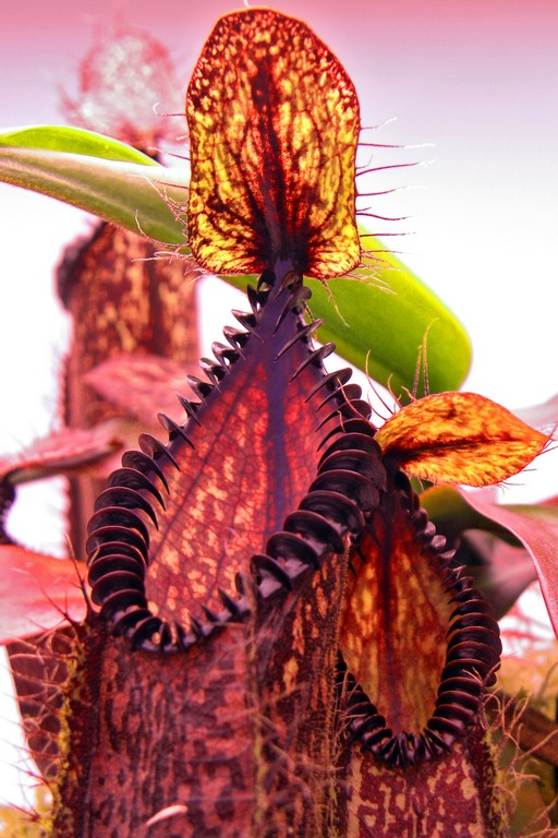 Nepenthes_hamata_12_12_2014_024.jpg