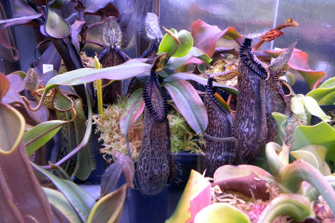 Nepenthes_hamata_15_01_2015_072~0.jpg