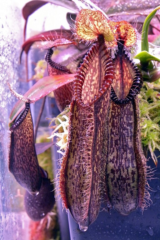 Nepenthes_hamata_26_09_2014_564.jpg