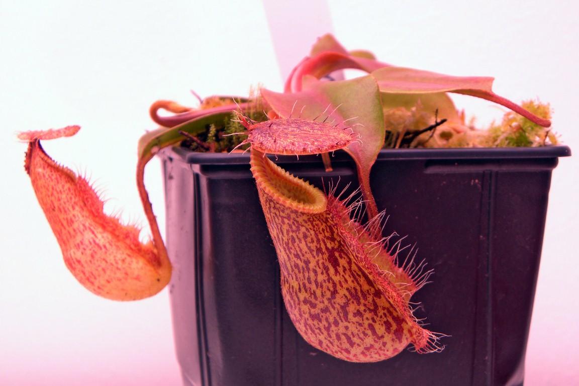 Nepenthes_robcantleyi_x_hamata_15_01_201