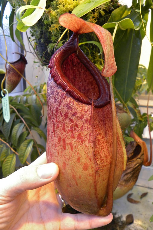 Nepenthes_sibuyanensis_x_merrilliana_04_