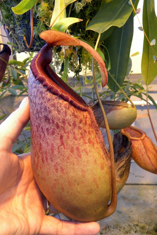 Nepenthes_sibuyanensis_x_merrilliana_201