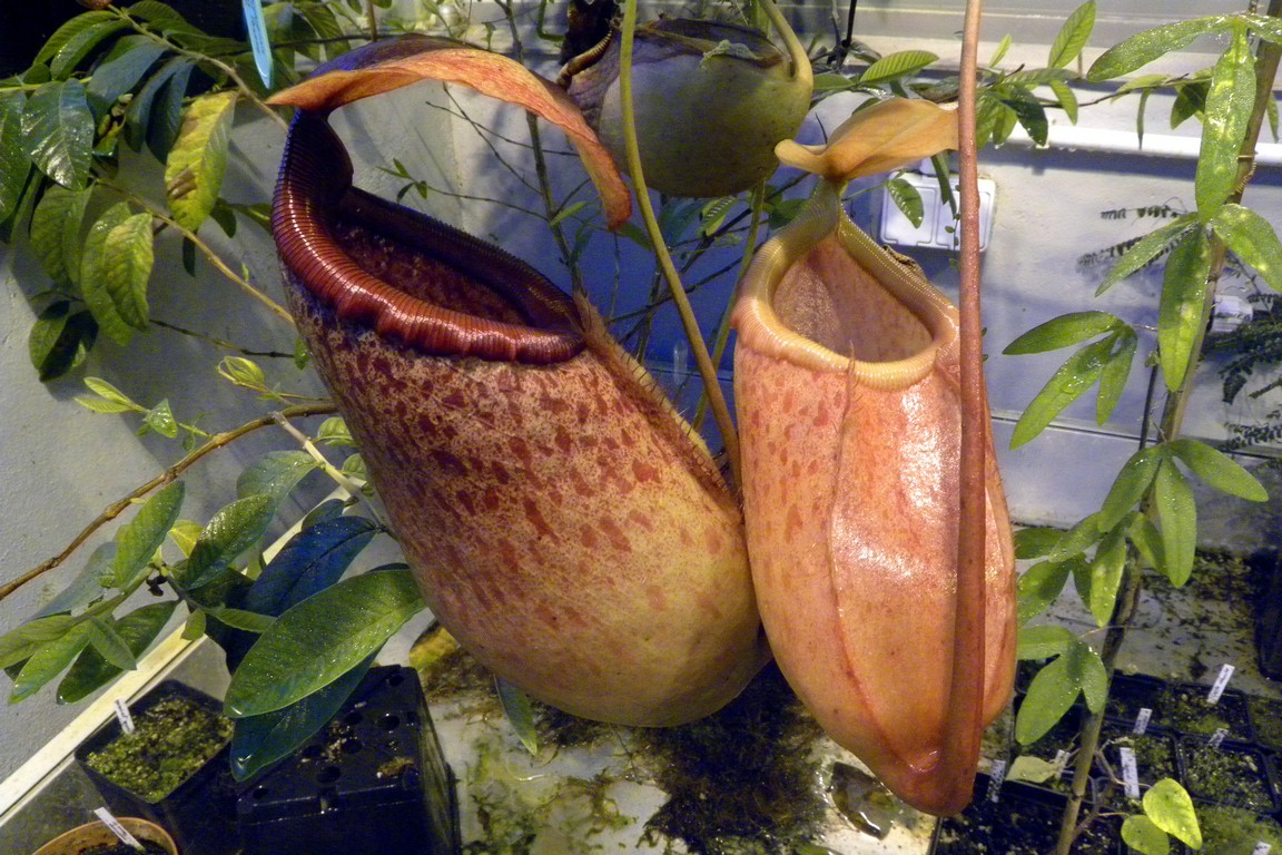 Nepenthes_sibuyanensis_x_merrilliana_22_