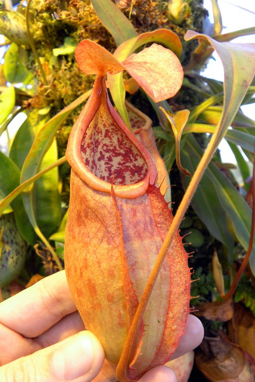 Nepenthes_smilesii_2015_04_09_065.jpg