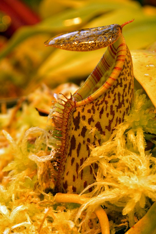 Nepenthes_spectabilis_x_burkei_27_02_201