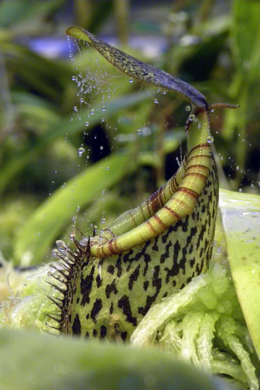 Nepenthes_spectabilis_x_burkei__22_03_20