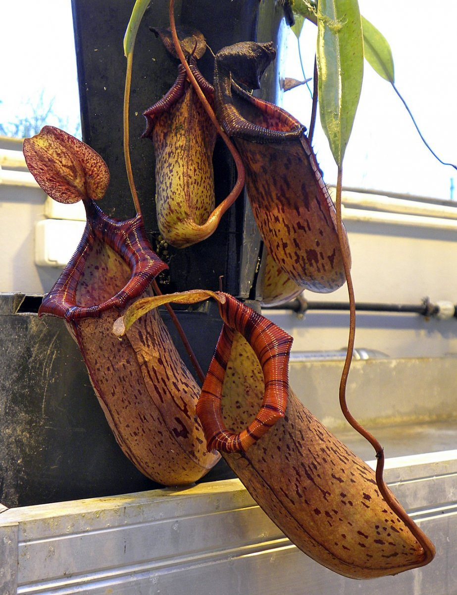 Nepenthes_spectabilis_x_ventricosa_12_09