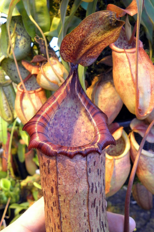 Nepenthes_spectabilis_x_ventricosa_2015_