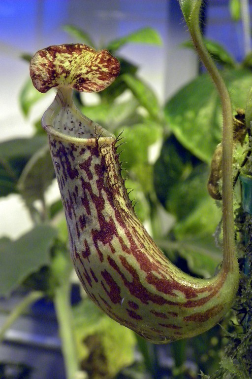 Nepenthes_stenophylla_23_01_2015_111.jpg