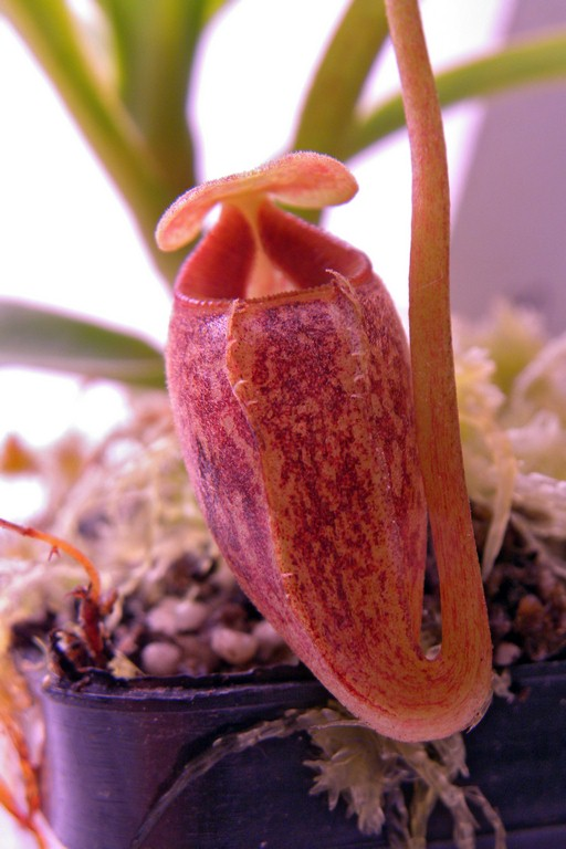 Nepenthes_talangensis_30_12_2014_209.jpg