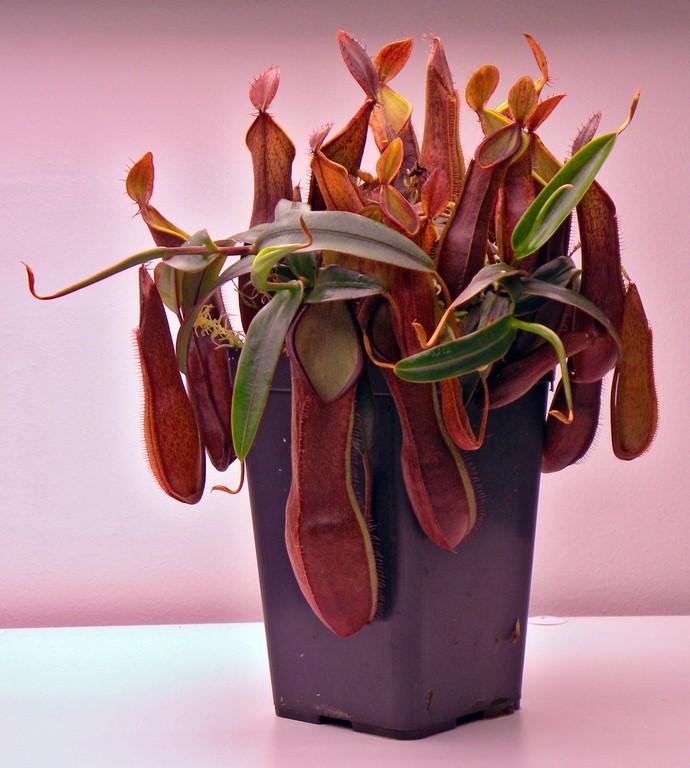 Nepenthes_tentaculata_12_12_2014_005.jpg