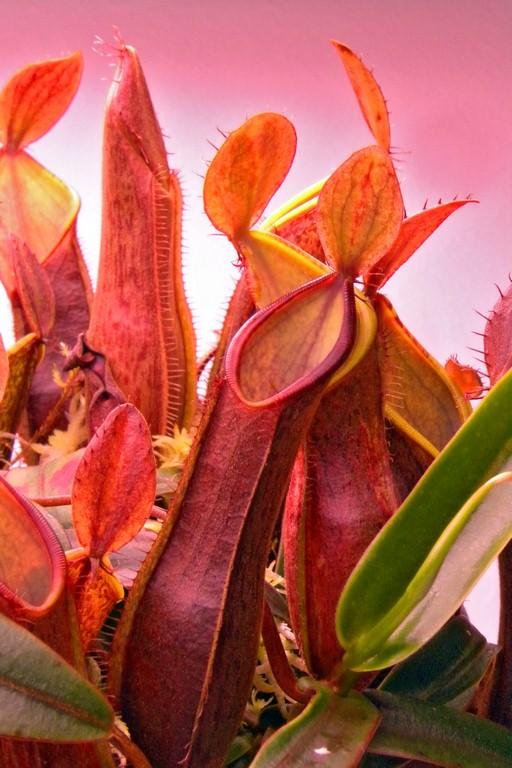 Nepenthes_tentaculata_12_12_2014_011.jpg