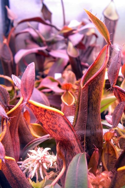 Nepenthes_tentaculata_15_01_2015_071.jpg