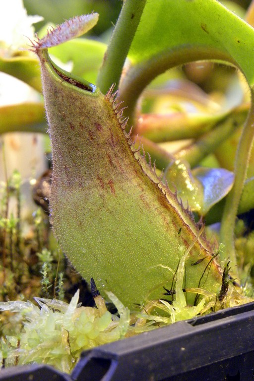 Nepenthes_truncata_23_12_2014_078.jpg