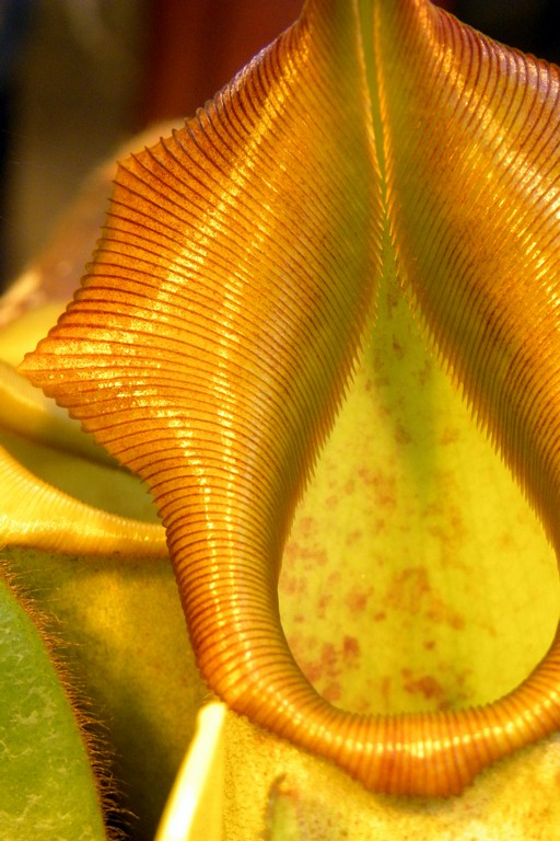 Nepenthes_veitchii_Ggolden_Peristome_23_