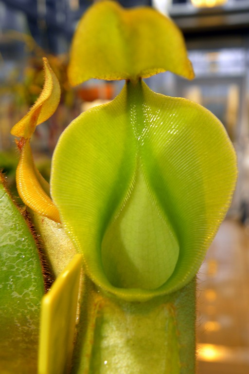 Nepenthes_veitchii_Ggolden_Peristome_3_1