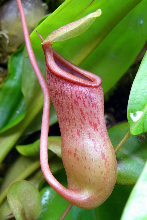 Nepenthes_ventricosa_2015_04_09_023.jpg