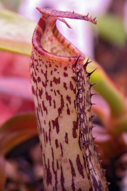Nepenthes_vogelii_11_03_2015_049.jpg