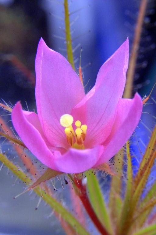 Roridula_gorgonias_20_03_2015_003.jpg